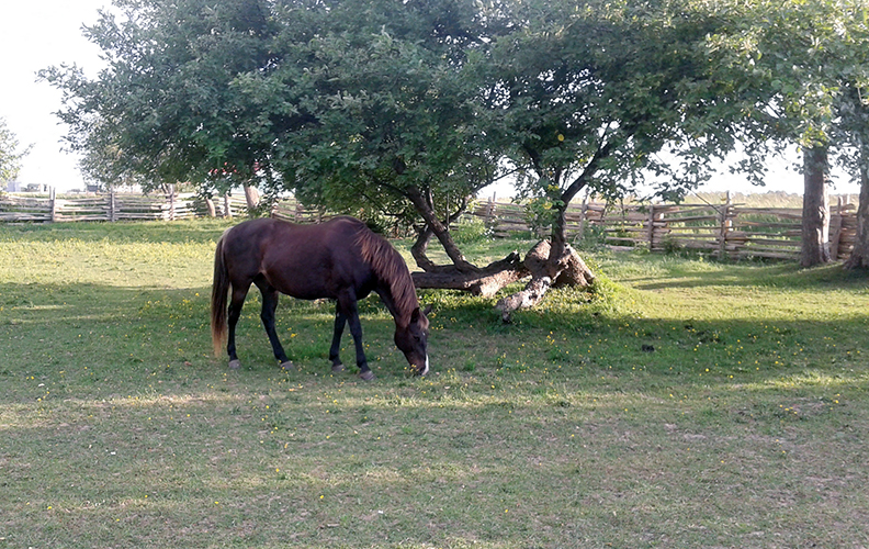 Horses need shelter from the heat of summer